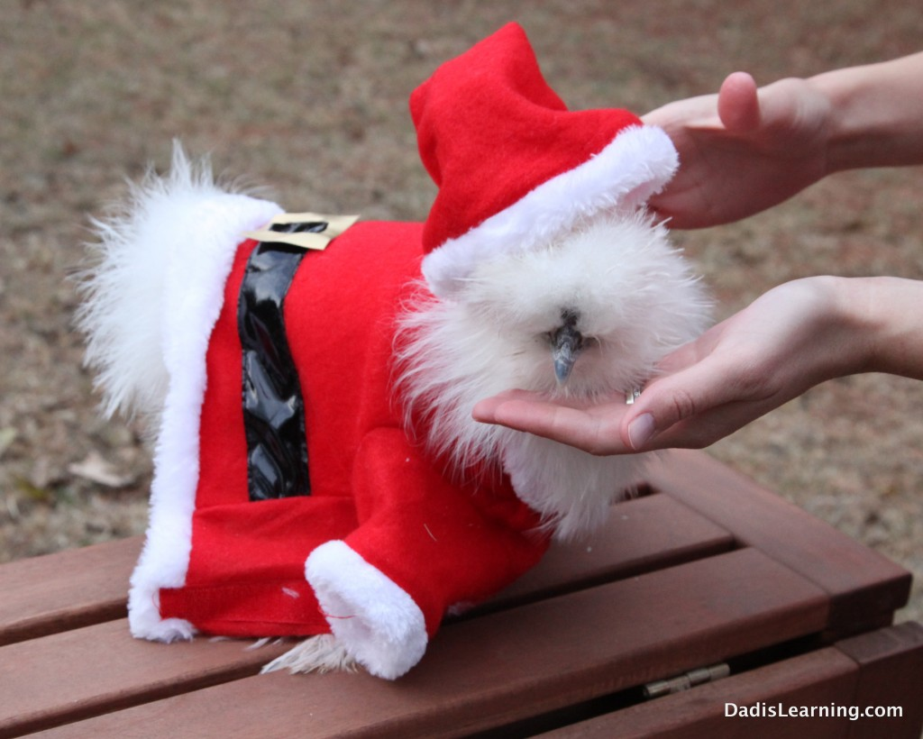 Chickens Don't Like Santa Hats