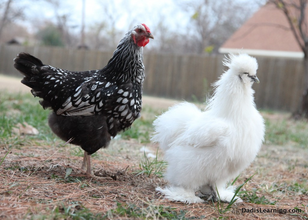 Silkie and Americana Chicken