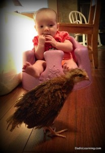 baby looking at chickens