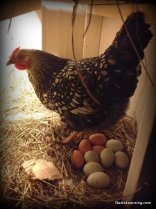 hen sitting on lots of eggs