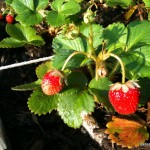 Beautiful strawberries in the square foot garden.