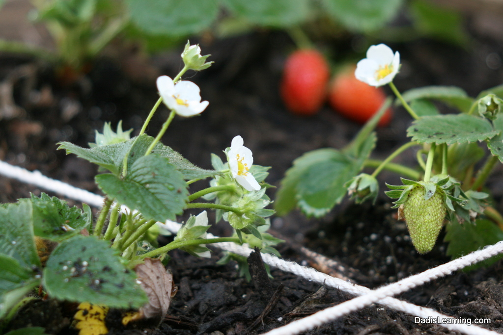 Strawberry Blossoms Square Foot Garden Dad Is Learning